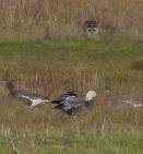 Distant blue morph Lesser Snow Goose, Marshside, 16.12.16