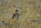 Tundra Bean Goose, Marshside, 14/1/17