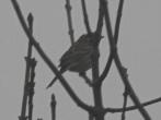 Male Pine Bunting, Dunnington, 1/2/17