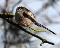 Long Tailed Tit, Mere Sands Wood, 12/2/17