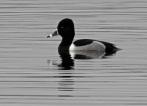 Ring Necked Duck, Carlingwark Loch, 23.2.17
