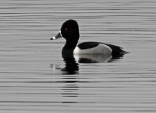 Ring Necked Duck, Carlingwark Loch, 23.2.17