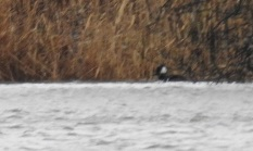 Hooded Merganser (just), Barr Loch, 23.2.17