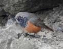 Eastern Black Redstart, Skinningrove, 24.2.17