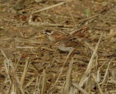 Little Bunting, Great Barford, 26.2.17