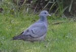 Stock Dove, Ainsdale, 27/3/17