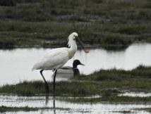 Spoonbill, 17/4/17, Marshside RSPB.