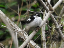 Male Pied Flycatcher, Hesketh Golf Course, 19/4/17.