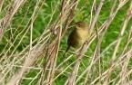 Grasshopper Warbler, Marshside, 23/4/17.