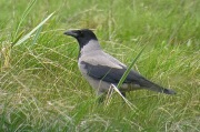 Hooded Crow, Fairways/Marshside, 21/4/17.