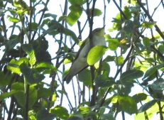 Blurry Wood Warbler, Marshside, 7/5/17.