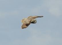 Short Eared Owl, Spurn 14.5.17