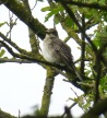 Spotted Flycatcher, Ainsdale, 12.5.17
