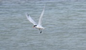 Blurry Elegant Tern, Pagham Harbour, 12/6/17.