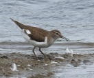 Common Sandpiper, Marshside, 30.7.17