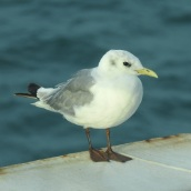 Kittiwake, Irish Sea, 29.8.17