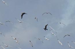 Arctic Skuas, Ainsdale Beach, 24.8.17