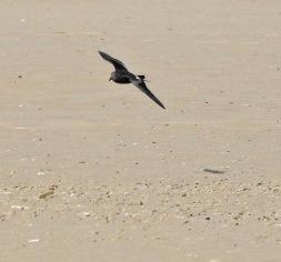Leach's Petrel, Ainsdale Beach 13.9.17