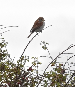 Red Backed Shrike, Easington, 7/10/17