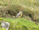 Rock Thrush, Pwll Du, 13/10/17