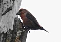 Parrot Crossbill, Howden Reservoir, 22.2.18.