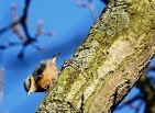 Nuthatch, Mere Sands Wood, 25.2.18