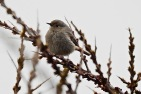 Black Redstart, Ainsdale, 13.4.18