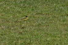 Black Headed Wagtail, Silverdale, 15.4.18.