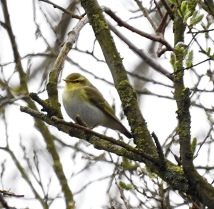 Wood Warbler, Marshside, 15.4.18