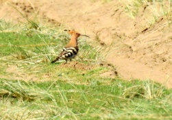 Hoopoe: National Trust, Formby, 19.4.18.