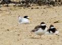 Little Tern, Ainsdale, 12/8/18