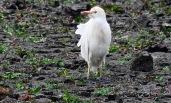 Cattle Egret, Marshside, 2.9.18