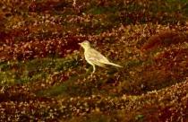 Tawny Pipit, Bryher, 8.10.18