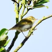 Greenish Warbler, St Agnes, 9/10/18