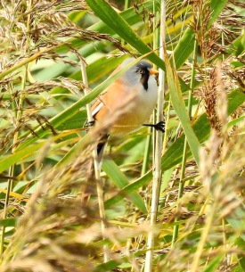 Bearded Tit, Marshside, 14/10/18