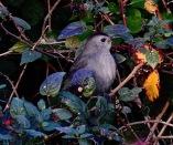 Grey Catbird, Treeve Moor, 28/10/18.