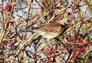 Fieldfare, Haskayne Cutting, 18/11/18