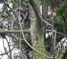 Tengmalm's Owl, Tresta, Shetland. 25/2/19