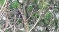 Tengmalm's Owl, Tresta, Shetland, 26.2.19