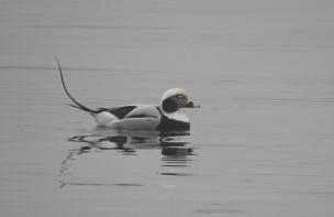 Long Tailed Duck, Lerwick, 25/2/19