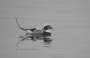 Long Tailed Duck, Lerwick, 25/2/19