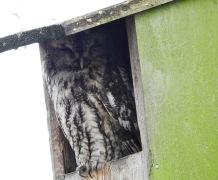 Tawny Owl, Martin Mere, 3.3.19