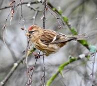 Lesser Redpoll, Birkdale, 18/3/19
