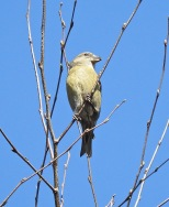 Common Crossbill, Birkdale, 31/3/19
