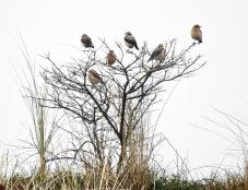 """""""Wheatear Tree"""" Ainsdale 16/4/19"""