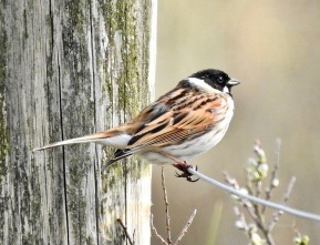 Reed Bunting, Ainsdale, 18/4/19