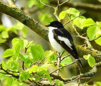 Pied Flycatcher, Hesketh Park, 18/4/19