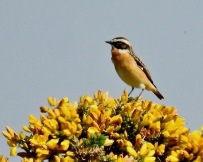 Whinchat, Ainsdale, 19/4/19