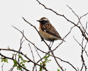 Whinchat, Ainsdale, 24.4.19