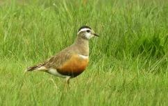 Female Dotterel, Long Bank, Spurn, 20.5.19